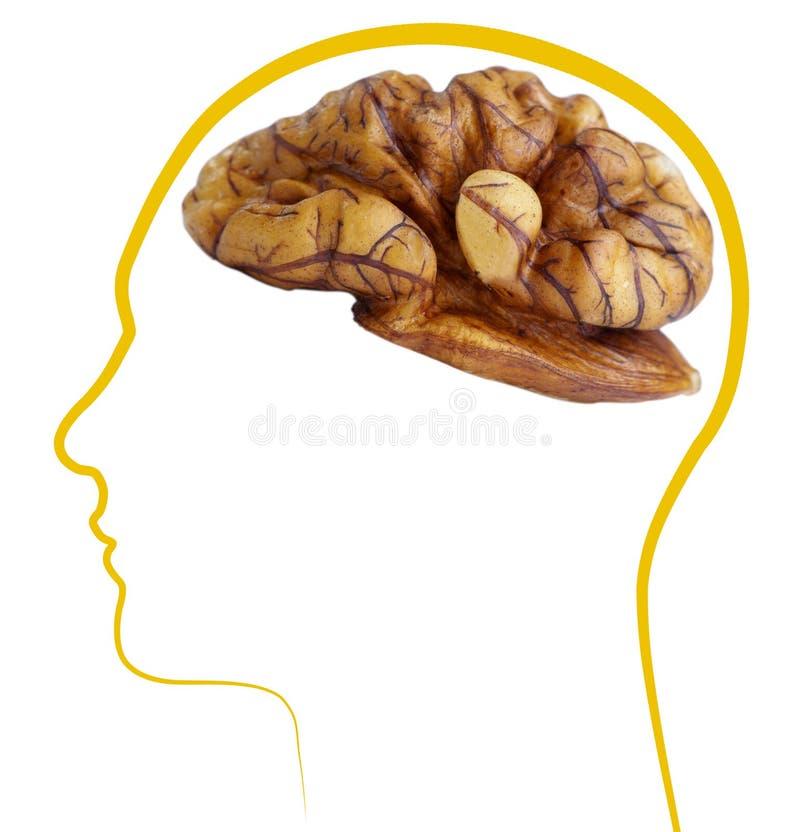 Walnut good brain health. ??Isolated on white background royalty free stock photo