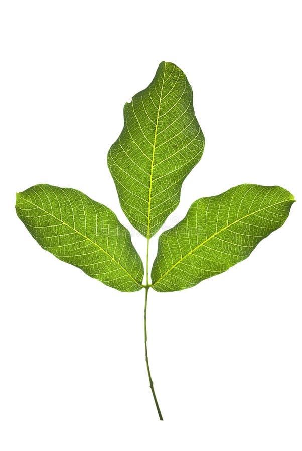 Walnut leaf stock photography
