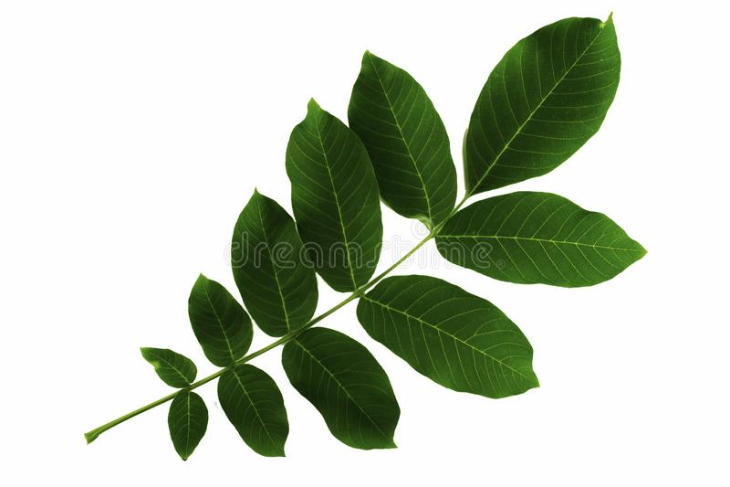 Walnut leaf inflorescence isolated on white background royalty free stock images