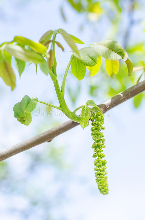 Free Walnut Male Flower Stock Photography - 30829862