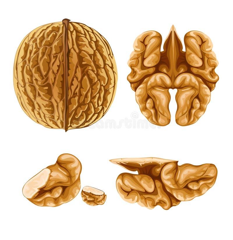 Walnut nut with shell vector illustration
