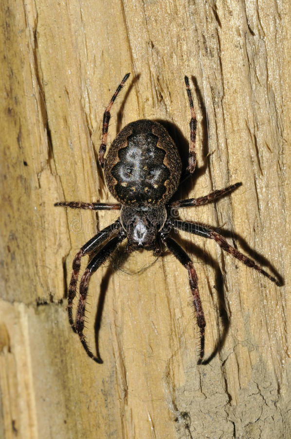 Walnut Orb-Weaver Spider. Nuctenea umbratica On fence post stock photos