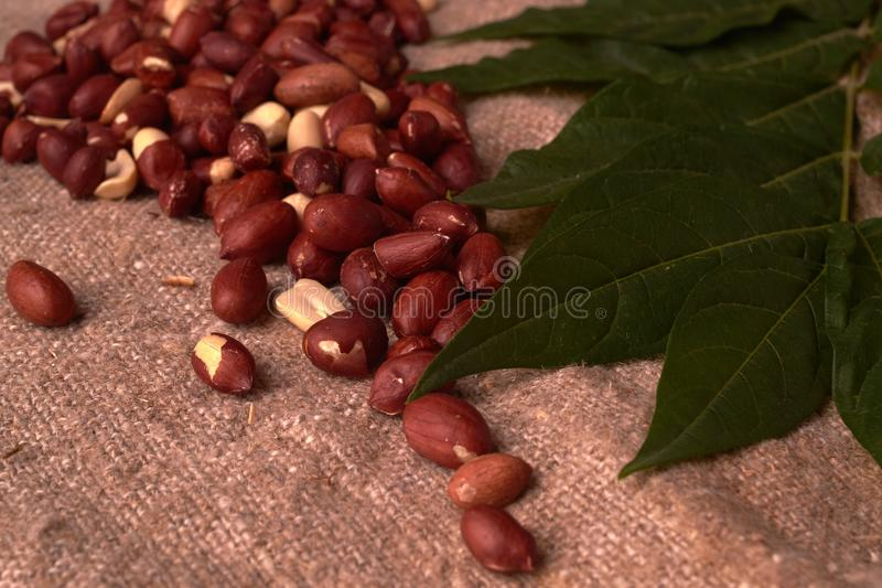 Walnut peanut scattered in the form of a continent north america on sackcloth background. Space for text. Copyspace. Walnut peanut scattered in the form of a stock photography