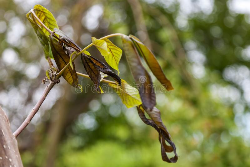 Walnut plant is damaged by frost royalty free stock photo
