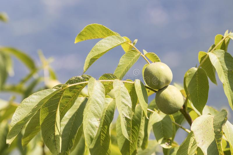 Walnut plant with many green leaves and a blue background royalty free stock photos