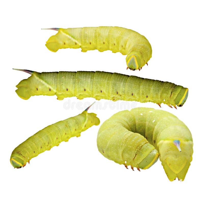 Walnut sphinx caterpillar royalty free stock photos