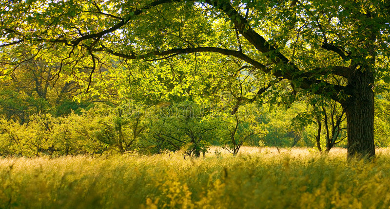 Walnut tree. Large walnut tree in a late summer afternoon royalty free stock image