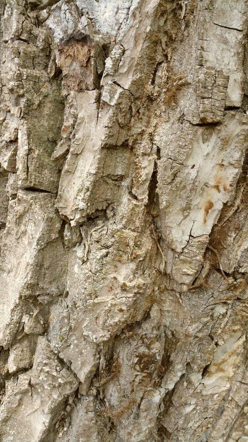 Walnut tree bark royalty free stock images