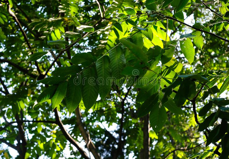 Walnut tree branches with green leaves and walnut in the summer sunny day. Walnut tree branches with green leaves and walnut in the summer sunny day royalty free stock photography