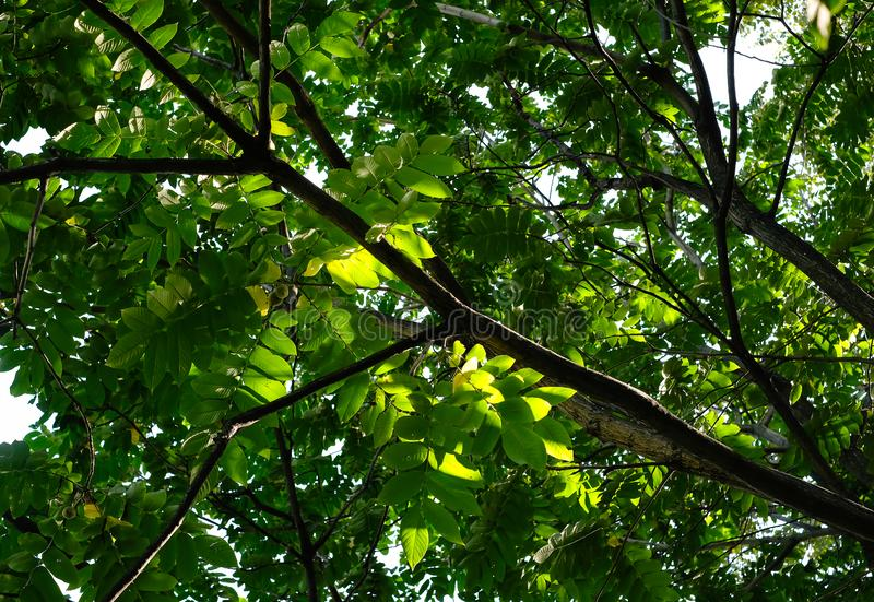 Walnut tree branches with green leaves and walnut in the summer sunny day. Walnut tree branches with green leaves and walnut in the summer sunny day stock photos