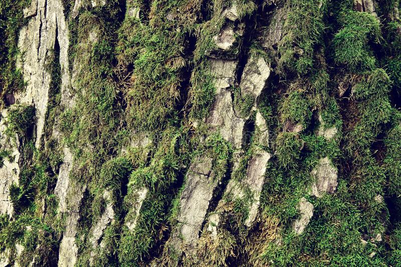 Walnut tree crust covered with moss, natural wood background. Walnut tree crust covered with moss, natural background stock image