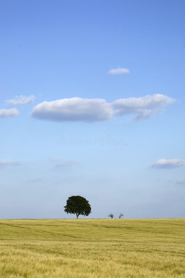 Walnut tree in a field of wheat