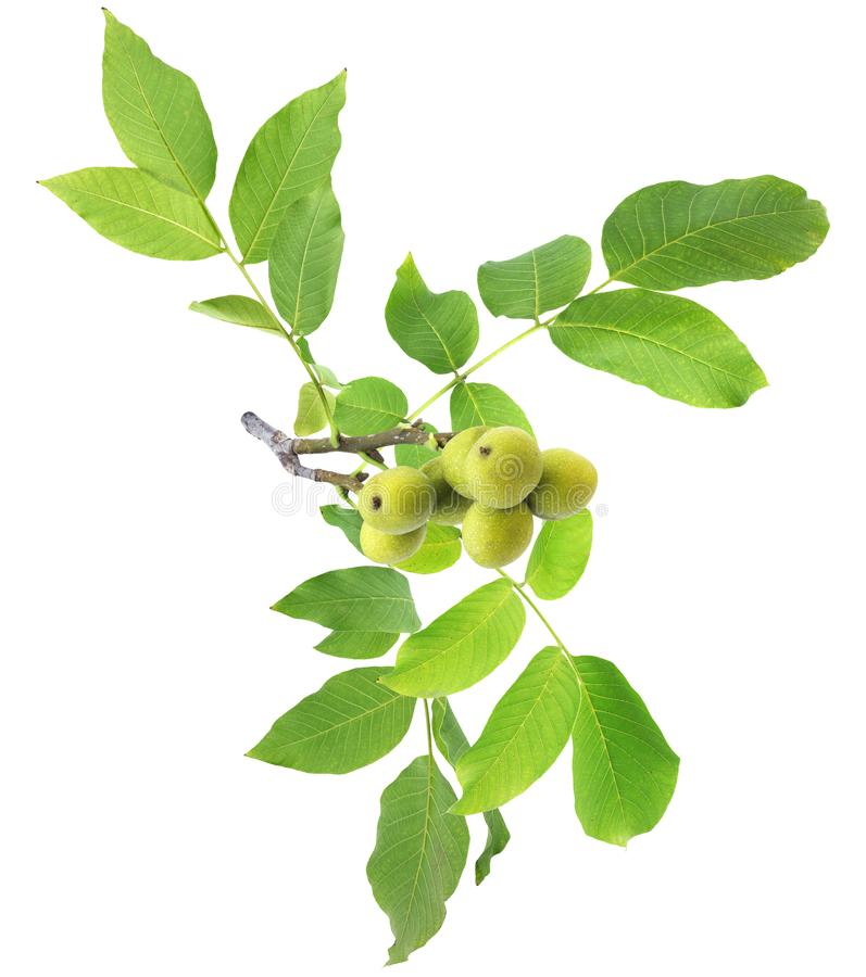 Walnut tree. Green branch isolated on white background stock photography