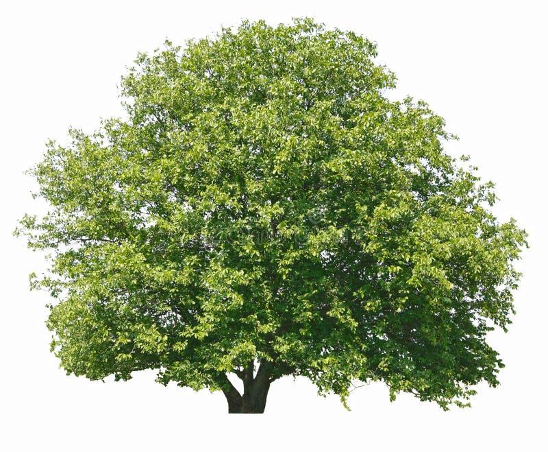 Walnut tree isolated royalty free stock images
