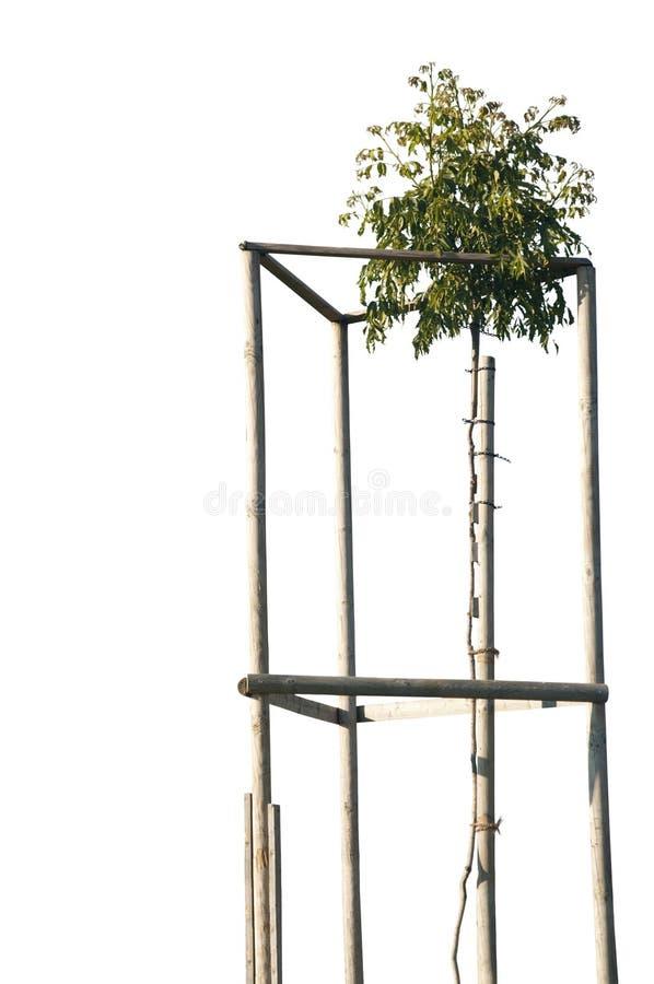 A walnut tree isolated stock photography