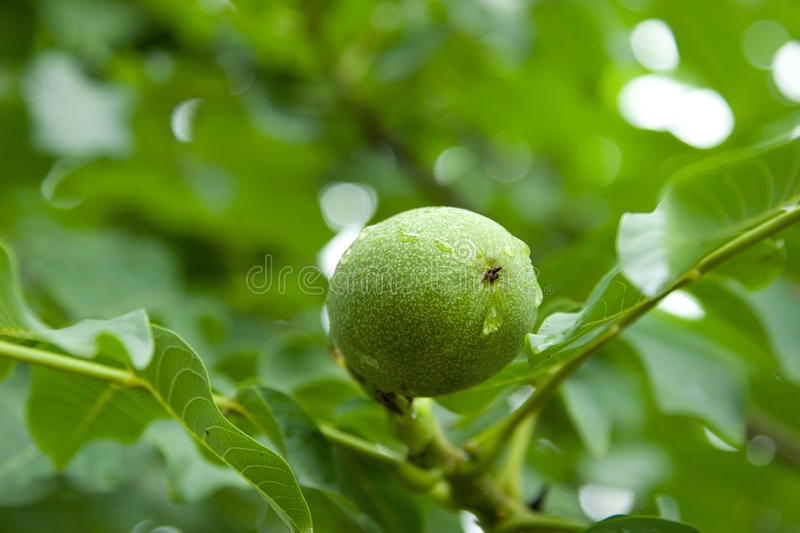 Walnut on the tree after the rain. royalty free stock image