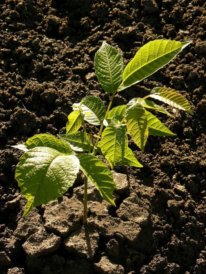 Walnut tree seedling stock images