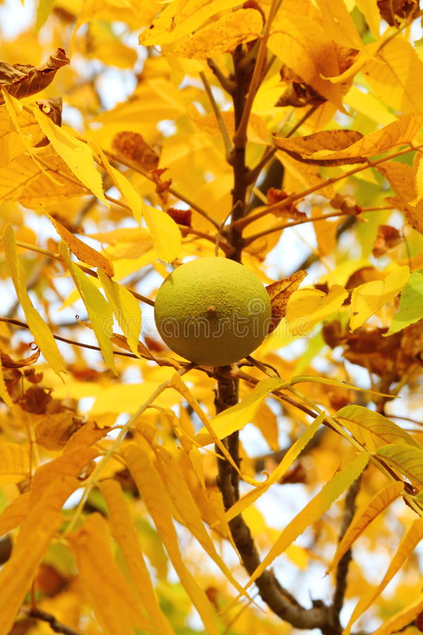 Download Walnut with yellow leaves stock photo. Image of branch - 27039732