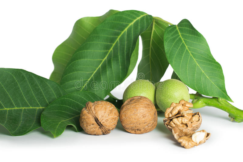 Download Walnuts And Branch With Leaves White Stock Photo - Image of ingredient, gourmet: 31369298