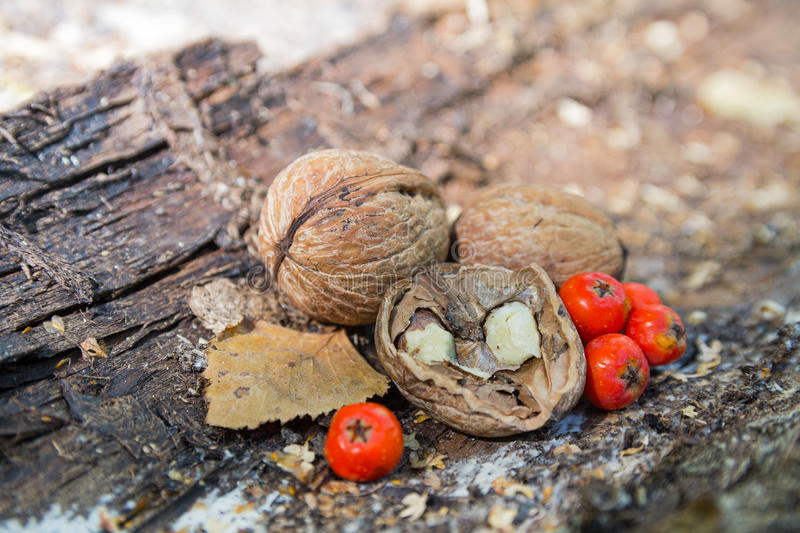 Walnuts and a red mountain ash berries royalty free stock photo