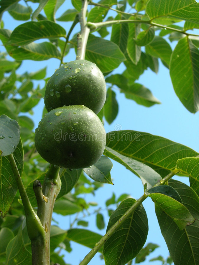 Download Walnuts In Their Husks Royalty Free Stock Images - Image: 1114859