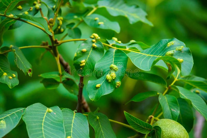 Walnuts on a tree. Disease pest on walnut leaves. Eriophyes tristriatus Nal or Nutty gall mite. Walnuts on a tree. Disease pest on walnut leaves. Eriophyes royalty free stock photos