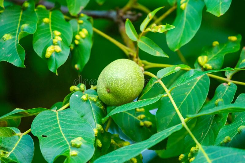 Walnuts on a tree. Disease pest on walnut leaves. Eriophyes tristriatus Nal or Nutty gall mite. stock images
