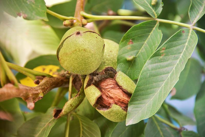 Walnuts on a tree. Nature royalty free stock photo