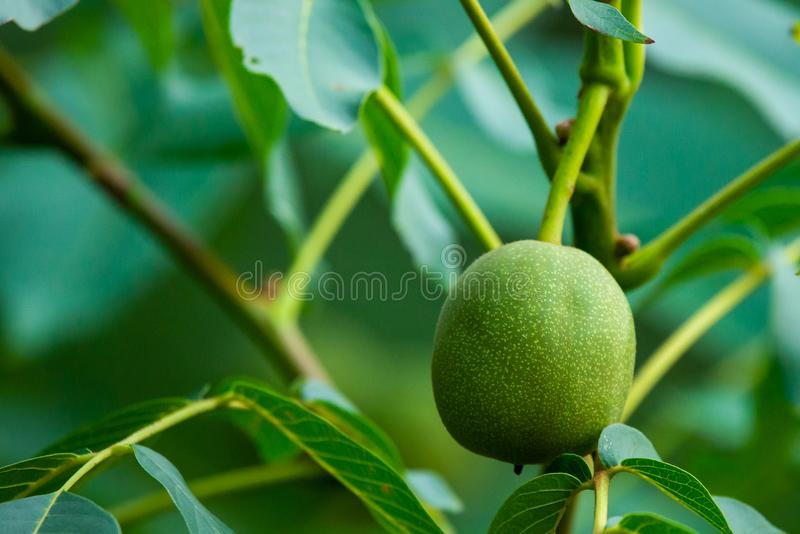 Walnuts on a tree royalty free stock photo