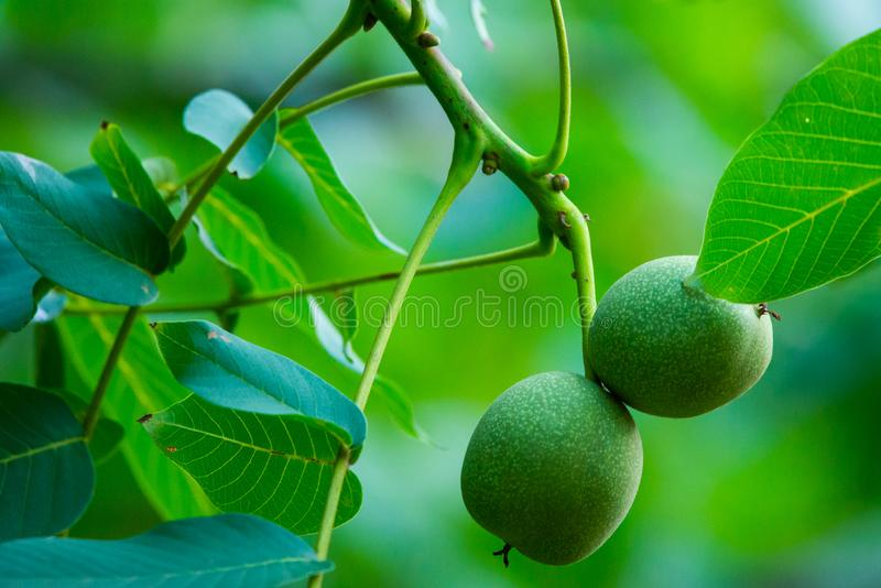 Walnuts on a tree stock photography