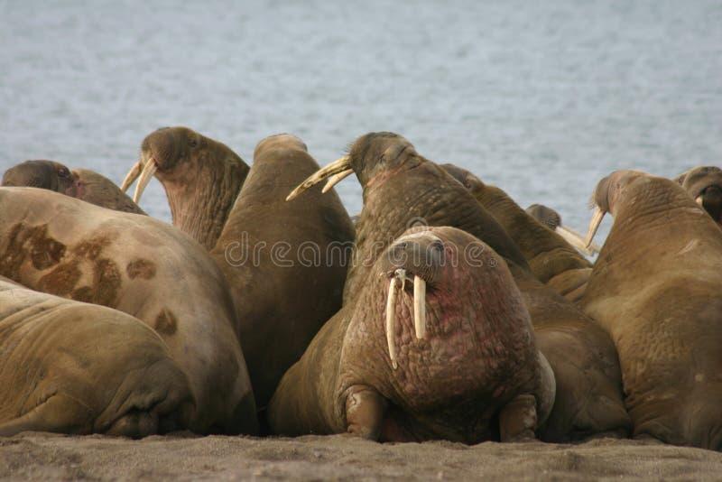 Walrus. In the High Arctic around Svalbard stock photo