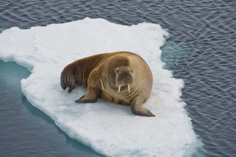 Walrus. On an iceflow royalty free stock image