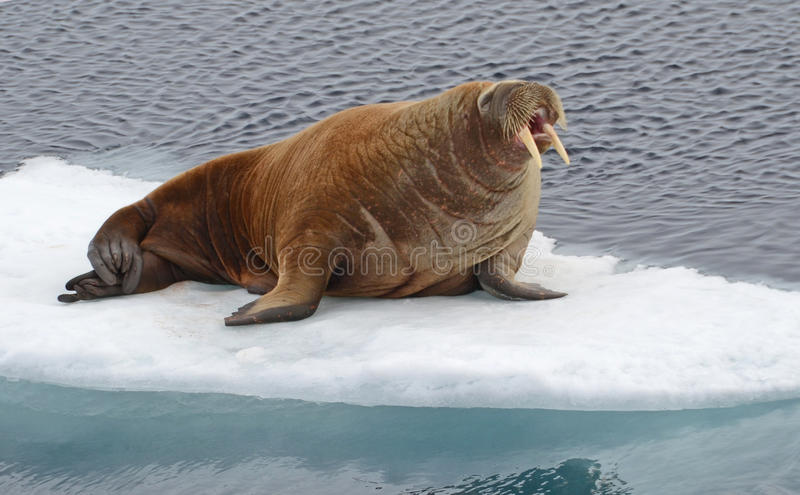 Walrus. Drifting on an icefloe