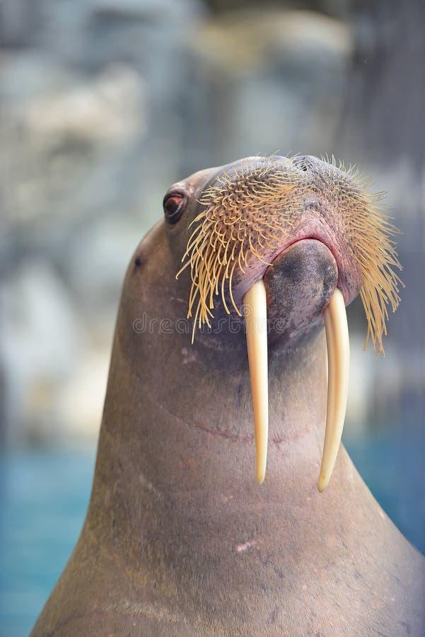 Walrus. Safari world - bangkok , thailand : walrus looking in the pond stock images