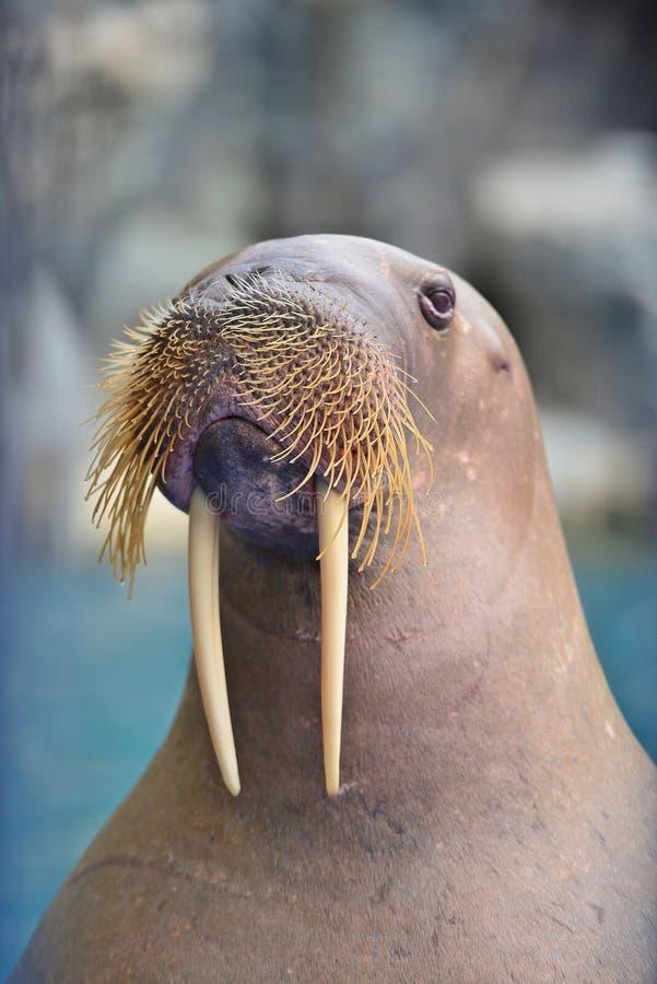 Walrus. Safari world - bangkok , thailand : walrus looking in the pond royalty free stock photos
