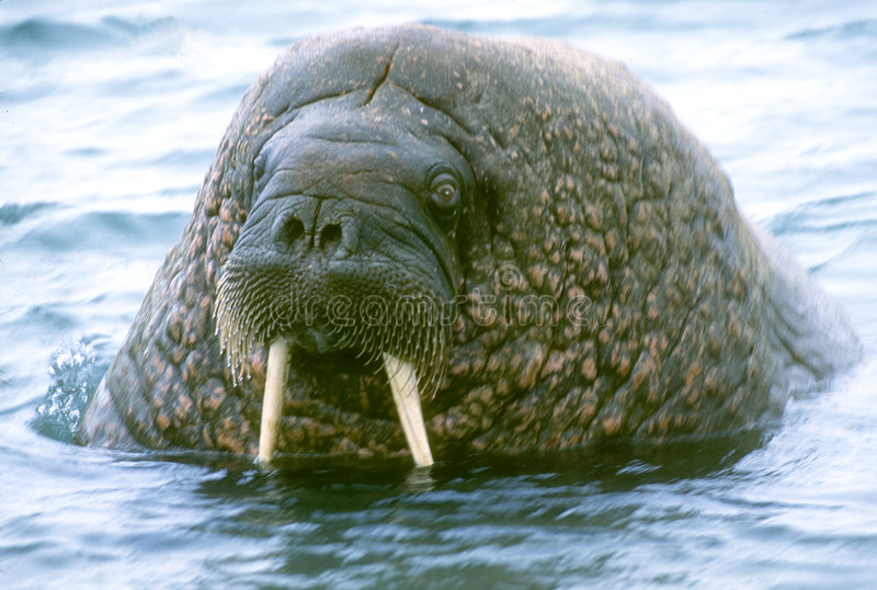 Walrus. A head view of a walrus near the Arctic Ocean royalty free stock photo