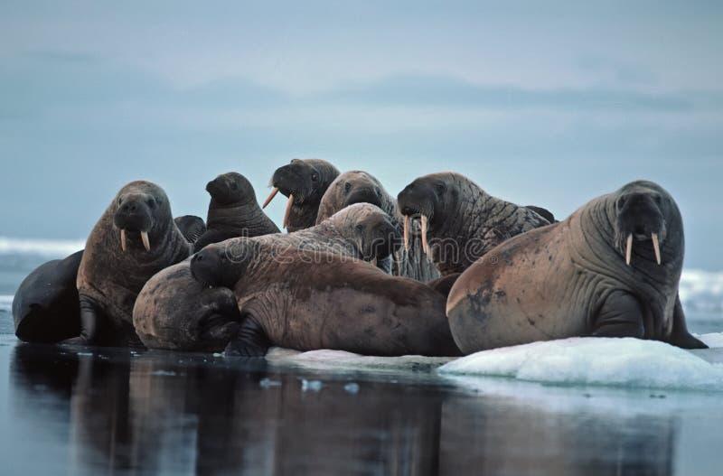 Walrus. Group of walrus on ice floe.High Arctic stock photos