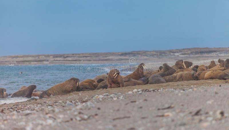 walrus royalty-vrije stock fotografie