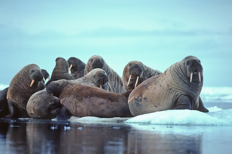 Walrus. Group of walrus hauled out on ice floe in Canadian High Arctic stock photos