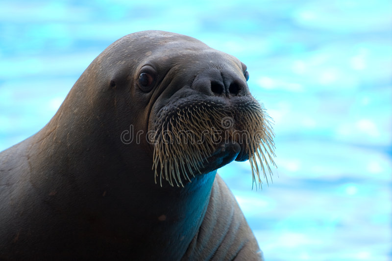 Walrus. Posing happily on blue fuzzy background stock photography