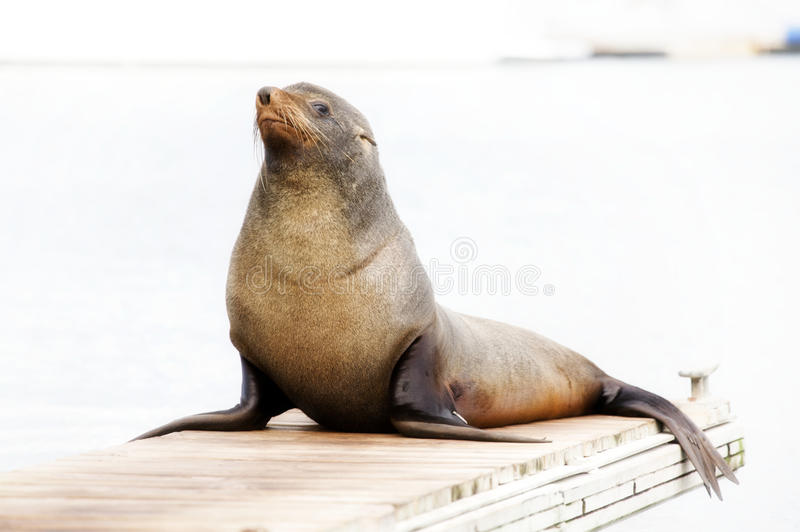 Walrus. Sits on the bridge, looking into the camera and smiles stock images