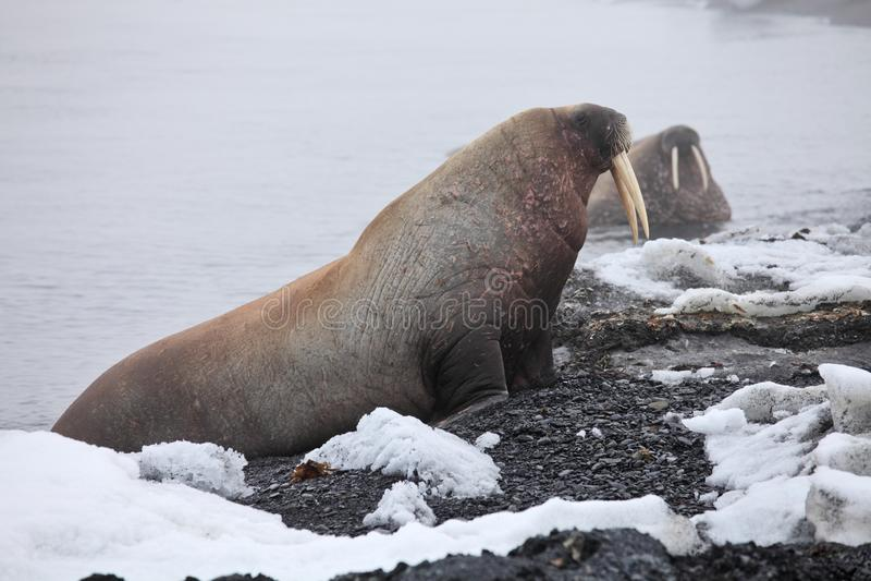 Walrus on the beach. Walrus haul-out on the beach - Franz Josef Land archipelago, Russian Arctic stock photography