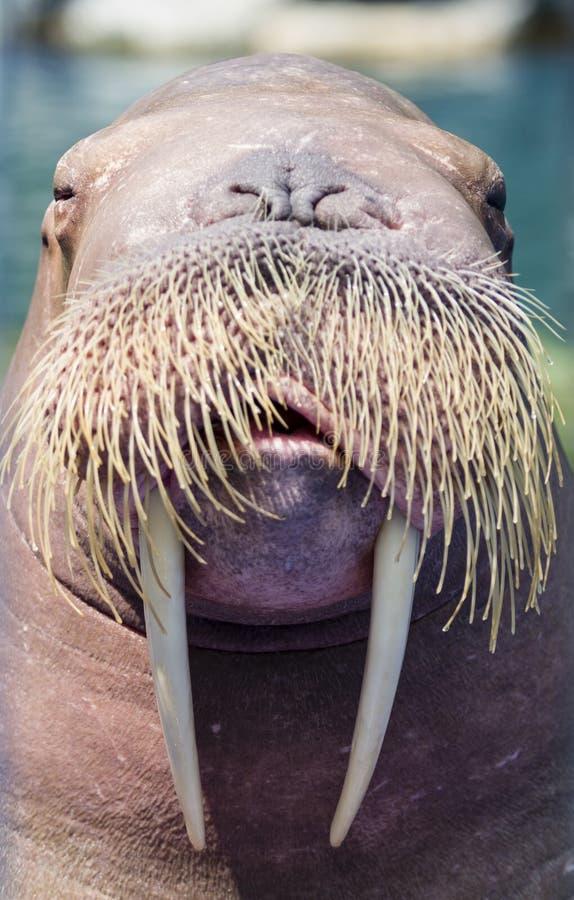 A walrus, closeup. Portrait of a walrus (sea-lion stock images