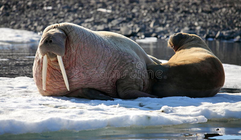 Walrus cow with cub. On ice floe royalty free stock photo