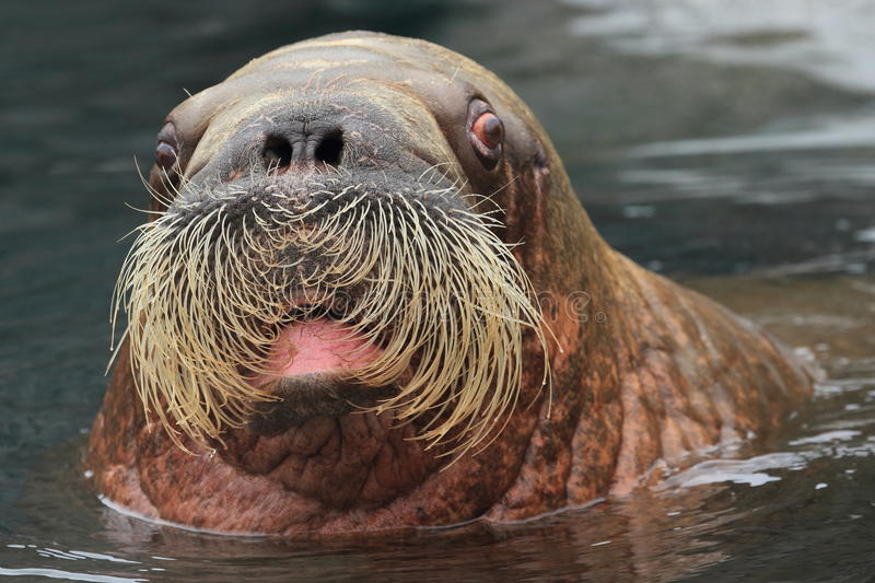 Walrus. The detail of walrus with open mouth royalty free stock photography