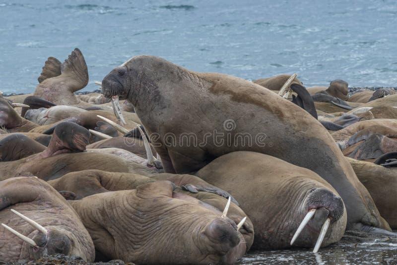 Walrus die een plaats in het midden zoeken stock fotografie