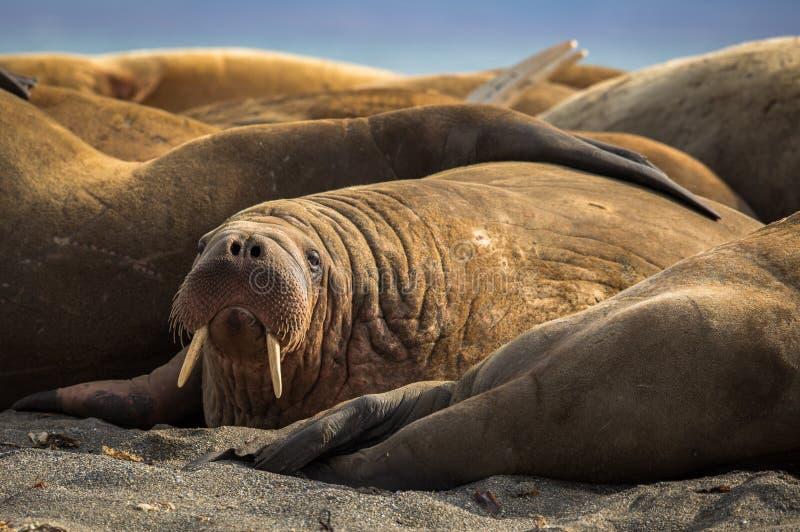 Walrus in een groep walrussen op Prins Karls Forland, Svalbard royalty-vrije stock foto's