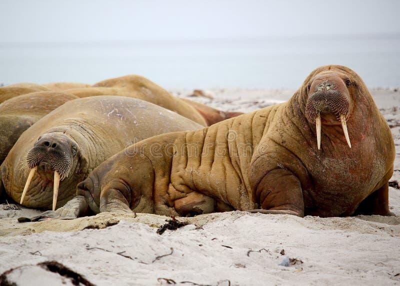 Walrus. Family on the beach royalty free stock photo