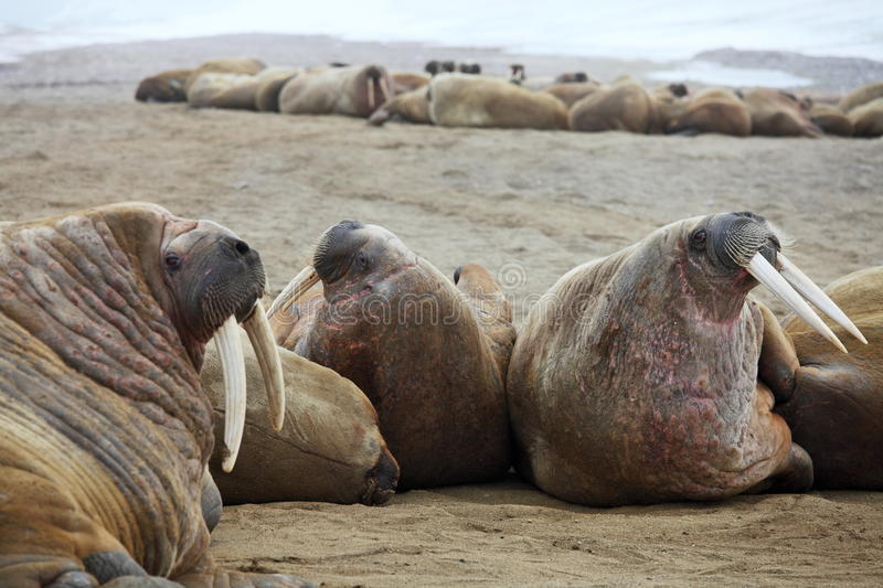 Download Walrus family haul out stock photo. Image of huge, relaxation - 20694560