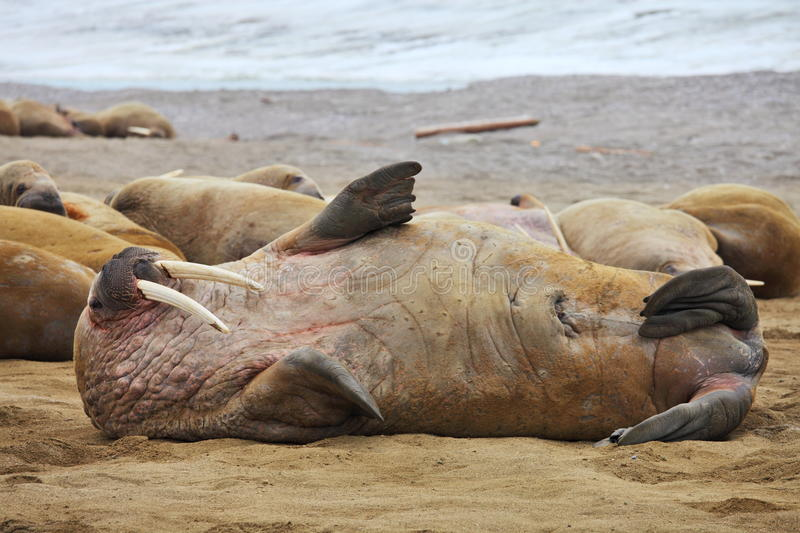Download Walrus family haul out stock photo. Image of mammal, relaxation - 20749980